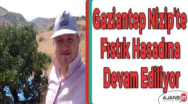Gaziantep Nizip'te fıstık hasadına devam ediliyor